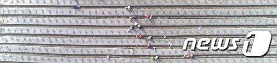 [사진]양파 모종 심기
