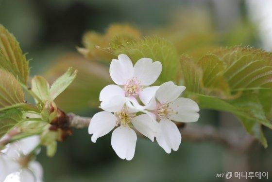 독도에서 자라는 섬벚나무. 학명은 '프루너스 다케시멘시스 나카이(Prunus takesimensis Nakai)', 영명은 '다케시마 플라워링 체리(Takeshima flowering cherry)'다. 모두 '다케시마'라는 표현이 들어있다. /사진=국립생물자원관