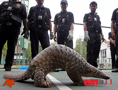 2012년 5월26일 태국 세관 당국이 수도 방콕에서 열린 기자회견에서 구조된 천산갑 1마리를 보고 있다. 세관은 전날 밀반출되려던 4만6000달러 상당의 천산갑 138마리를 구조했다. 태국 세관 당국은 남부 도시 촘폰에서 검색하던 트럭에서 천산갑을 발견했다고 밝혔다. /사진=뉴시스