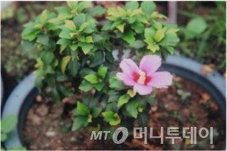 방사선 육종기술로 태어난 무궁화 '꼬마'./사진제공=한국원자력연구원