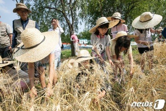 [사진] 양재천에서 열린 보리수확 체험