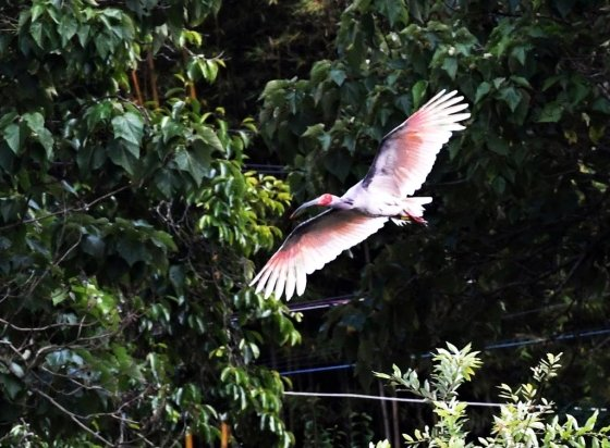 지난 15일 오후 경남 창녕군 우포늪 따오기복원센터 인근에서 최근 방사된 따오기 한 마리가 날아 오르고 있다. 2019.06.16.    /사진=뉴시스