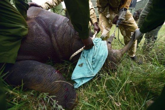 케냐야생동물보호당국(KWS)가 검은코뿔소의 뿔에 전파위치탐지기를 심고 있다. /사진=AFP