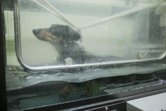 로얄동물메디컬센터 재활특화센터에서 개가 수중런닝머신을 이용해 재활훈련을 하고 있다./사진=로얄동물메디컬센터