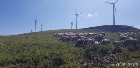 새한패 발전소의 풍력발전기 밑에는 양떼 수백마리가 한가로이 풀을 뜯고 있었다. 탁 트인 지형 덕분에 소음은 거의 발생하지 않았다. /사진=최우영 기자