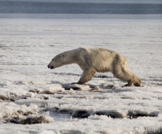 북극곰은 배가 고프고 고단하다. 살아갈 터전인 얼음이 자꾸 녹아서. 오늘의 나 덕분에 북극곰은 더 힘들어졌을지, 아니면 나아졌을지. 생각해 볼 일이다./사진=뉴스1