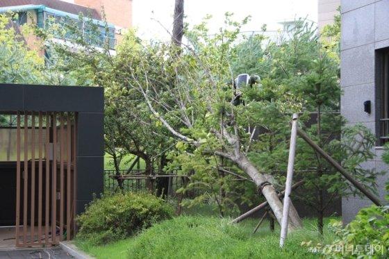 7일 태풍 '링링'이 동반한 강풍으로 인해 서울 동작구 모 아파트 단지 가로수가 쓰러졌다. /사진=독자 제공