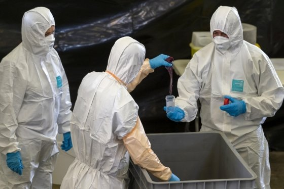 벨기에 뤽상부르주 비흐똥의 한 연구시설에서 수거된 야생 멧돼지의 아프리가돼지열병(ASF) 감염 여부를 조사 중인 연구진. /사진=AFP통신