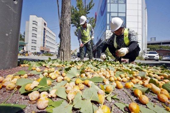 지난 18일 광주 북구 중흥동 한 공원 앞 도로에서 구청 관계자들이 은행나무 열매로 인한 악취 민원과 교통 불편 해소를 위해 은행을 털어 수거하고 있다./사진제공=광주 북구