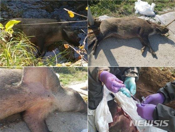 경기도 연천군 왕징면 강서리에서 발견된 멧돼지 폐사체와 폐사체 시료 채취(하단 오른쪽)를 하는 모습./사진=뉴시스, 환경부