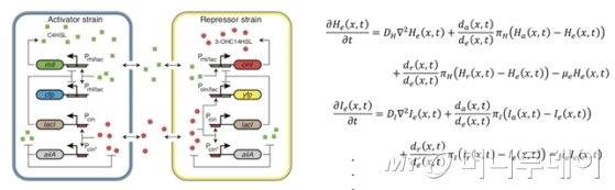 연구에 사용된 두 박테리아 사이의 생물학적 회로 디자인과 그 기능을 이해하는 데 사용된 편미분방정식의 일부분./자료제공=KAIST