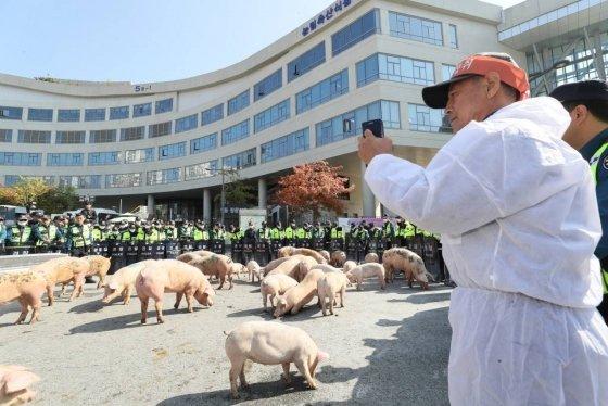 전국음식물사료연합회와 돼지농가 농민들이 21일 오후 정부세종청사 농림축산식품부 앞에서 잔반급여 금지에 대한 대책 마련을 촉구하며 가져온 돼지를 도로에 풀어 놓으며 항의시위를 벌이고 있다. 2019.10.21.  /사진=뉴시스