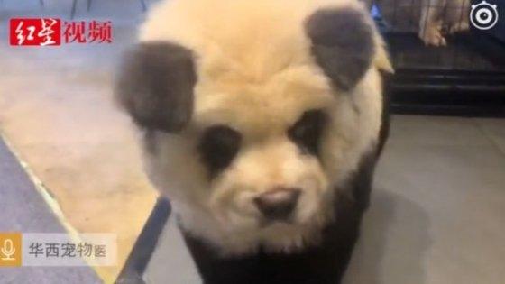 쓰촨성의 애완동물 카페에 있는 팬더와 비슷한 차우차우 강아지/사진=BBC.홍싱뉴스 캡펴