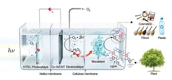 리그닌 해중합을 위한 광촉매, 전기촉매, 생물촉매 복합화 3분할 시스템 모식도<br><br>가장 왼쪽에 있는 광촉매가 태양광 에너지를 받아 정공(h+)과 전자(e-)를 생성한다. 이때 광촉매 표면으로 이동한 정공(h+)이 물을 산화시켜 산소를 발생시키며, 전자(e-)는 중간에 있는 전기촉매로 이동해 산소를 환원시켜 과산화수소를 생성한다. 생성된 과산화수소는 셀룰로오스 막을 투과해 가장 오른쪽에 있는 생물촉매를 활성화킨다. 활성화된 생물촉매는 리그닌을 해중합해 고부가가치 화합물로 변환한다. 광촉매, 전기촉매, 생물촉매에 의한 각 반응은 나피온(Nafion) 막과 셀룰로오스(Cellulose) 막으로 분리된 독립적인 공간에서 일어난다/사진=UNIST