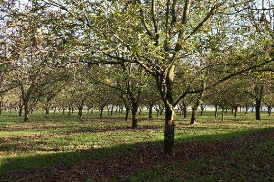 그르노블의 호두 나무들 © 정경화 통신원 제공