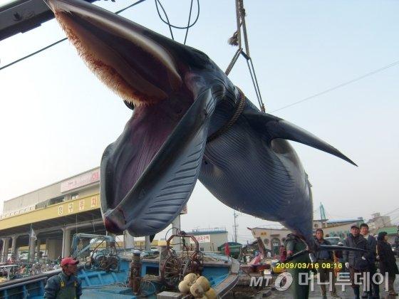 2009년 3월 강원 강릉시 주문진항 동방 3해리 해상에서 길이 5.8m, 둘레 2.6m, 무게 1.2톤 크기의 밍크고래 1마리가 죽은 채 발견됐다. (사진=속초해경 제공)/뉴시스