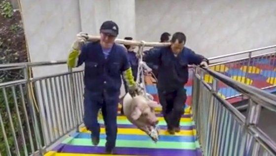 번지점프를 위해 번지점프대 위로 끌려가고 있는 돼지. /사진 = 웨이보(新浪微博)