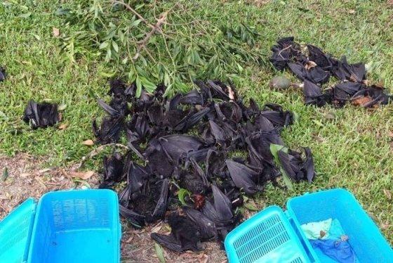 떼죽음을 당한 호주 과일박쥐의 시체. /사진 = ABC뉴스