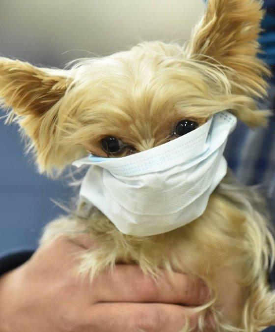 신종 코로나바이러스 감염증인 '우한폐렴'이 확산되고 있는 가운데 28일 오전 경기 평택항국제여객터미널에서 반려견이 마스크를 쓰고 있다. / 사진 = 뉴시스