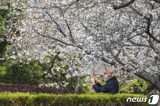 17일 우한대학의 한 교직원이 벚꽃 사진을 찍고 있다. © AFP=뉴스1