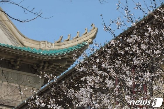 우한대학 캠퍼스에 핀 벚꽃. © AFP=뉴스1