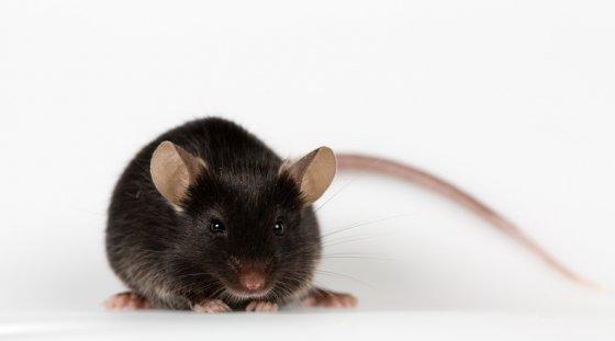 쥐/사진=게티이미지뱅크