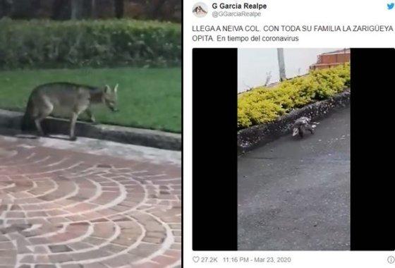 콜롬비아 보고타에서 목격된 여우와 주머니쥐/사진=트위터 캡쳐