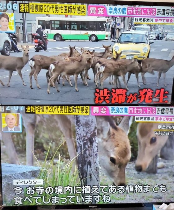 나라 현 도심에 출몰한 사슴들을 보도한 후지 TV 방송 화면/사진=트위터 캡쳐
