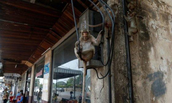 태국 롭부리시에 나타난 원숭이/사진제공=Reuters로이터