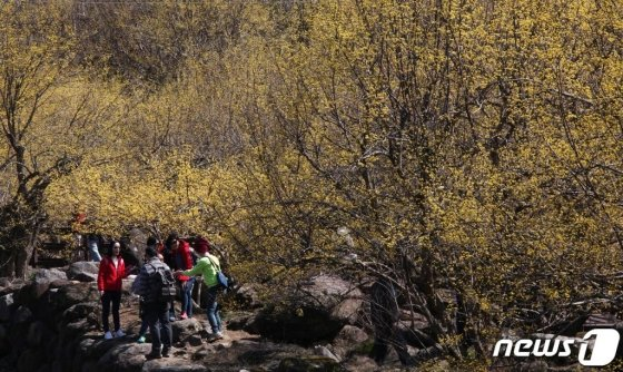 지난 8일 노오란 산수유꽃이 활짝 핀 전남 구례군 산동면 산수유마을을 찾은 상춘객들이 산수유 아래서 봄 정취를 만끽하고 있다./사진제공=구례군