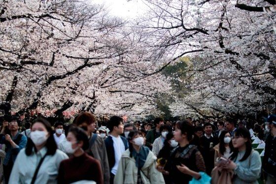 일본 우에노 공원에 몰린 벚꽃 관광객들. /사진=AFP