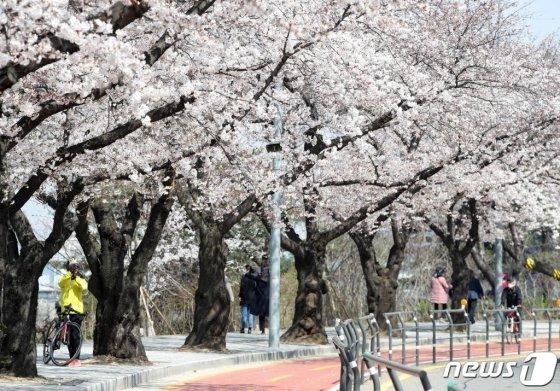 31일 서울 영등포구 국회 뒤편 여의서로에서 마스크를 쓴 시민들이 벚꽃길을 걷고 있다. /사진=뉴스1