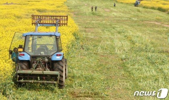 지난 8일 오전 제주 서귀포시가 코로나19 확산에도 상춘객 발길이 끊이지 않자 트랙터를 동원해 가시리 녹산로 일대 유채꽃밭을 갈아엎고 있다. /사진=뉴스1