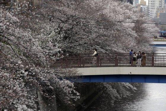 [도쿄=AP/뉴시스]27일 일본 도쿄의 메구로 강 다리 위에서 시민들이 벚꽃을 감상하고 있다. 도쿄도는 신종 코로나바이러스 감염증 관련 대책본부 회의를 열고 벚꽃 명소로 알려진 우에노 공원 등 도쿄 내 82개 공원에서의 꽃놀이 자제 요청을 내렸다. 특히 우에노 공원, 이노가시라 공원, 요요기 공원 등 벚꽃 명소로 알려진 3개 공원에 대해서는 27일부터 일부 도로의 출입이 금지됐다. 2020.03.27.