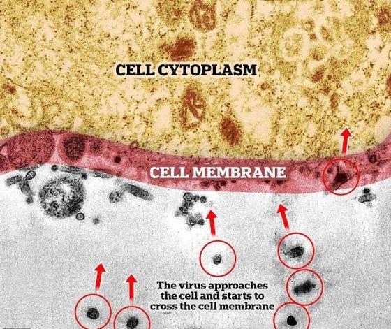 코로나 바이러스(빨간색 원)가 세포막(빨간색으로 칠해진 부분)을 뜷고 세포(노란색)에 진입하려 하고 있다. /사진 = 오스왈도 크루즈 재단