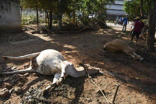 지난 7일 LG화학의 인도 현지법인 공장에서 가스 누출사고가 발생하자 가축들이 쓰러져 있는 모습/사진=AFP