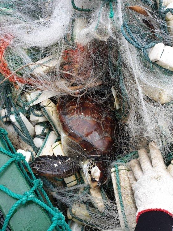 그물 쓰레기에 걸려 옴짝달싹 못한 채 죽어가던 거북이. 울산지사 청항선 선원들이 구해 기적처럼 살아났지만, 안심하기에 바다는 여전히 불안하다./사진=해양환경공단 울산지사