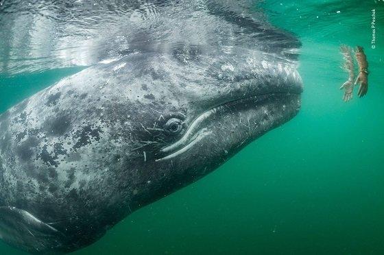 몸길이 약 15m.  몸빛깔은 푸른빛, 수염은 옅은 황색을 띤 회색수염고래가 '고래 관광선'에서 내려온 한 쌍의 손을 바라보고 있다. 이 고래는 호기심이 많아 관광선을 자주 쫓는다. 하지만 선박에서 나오는 음파에 호기심을 가진 고래들이 접근하다 치여 다치거나 죽는 경우도 많다. 회색수염고래는 멸종 위기종으로 국제조약에 의해 포획이 금지돼 있다. 북태평양에서만 서식한다./사진=런던자연사박물관