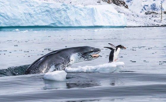 바다표범의 사냥감이 된 젠투펭귄의 목숨 건 36계 줄행랑. 젠투펭귄은 황제펭귄, 킹펭귄에 이어 현존하는 펭귄 중 세 번째로 몸집이 크다. 키는 51~90cm, 몸무게는 약 4~8kg 사이다./사진=런던자연사박물관