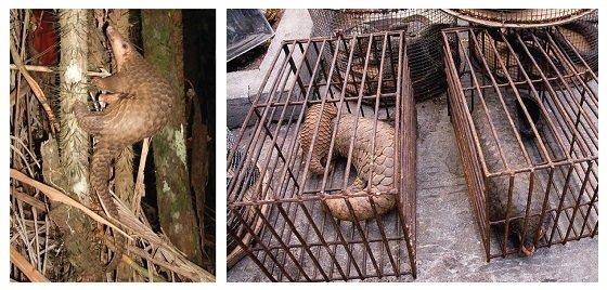 코로나-19를 유발하는 사스코로나바이러스-2의 중간숙주로 지목된 말레이 천산갑은 동남아시아 열대지역에서 서식하는 야행성 포유동물이다. 멸종위기 종으로 보호 받지만, 여전히 불법 밀수되어 중국에서 약재와 식재료로 거래된다. [출처: Wikimedia]