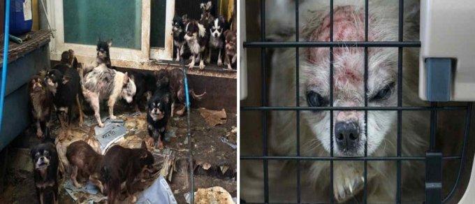 평택 불법번식장 구조 당시(왼쪽) 및 병원 이송(오른쪽) 모습./사진=동물자유연대