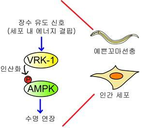 VRK-1-AMPK를 통한 수명 연장 모델.예쁜꼬마선충과 인간 세포에서 세포 내 에너지 결핍과 같은 장수 유도 신호에 의해 VRK-1이 활성화되면 AMPK를 인산화하여 수명을 연장시킨다/자료=이승재 교수
