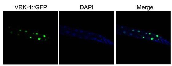 VRK-1은 예쁜꼬마선충의 핵 내부에 존재한다.예쁜꼬마선충의 VRK-1을 초록 형광 단백질 (GFP)로 표지하여 장 세포 내 위치를 나타내었다. 장 세포의 VRK-1은 DNA 염색 (DAPI 염색)을 통해 나타내어진 핵과 동일한 위치에서 나타나는 것으로 보아 핵 내부에 존재하고 있음을 알 수 있다.출처 : 한국과학기술원 이승재 교수