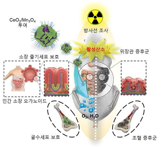 세륨-망간 산화물 헤테로 나노입자의 방사선 보호 효과/자료=IBS