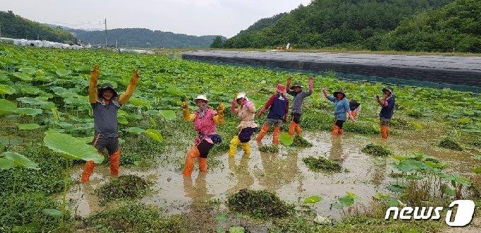 직원들이 연밭 잡초 제거 작업 중 사진 촬영에 포즈를 취하고 있다. © 뉴스1