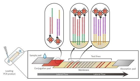다중 유전자 증폭-광범위 측면흐름 측정법 'MPCR-ULFA'/사진제공=팍스젠바이오