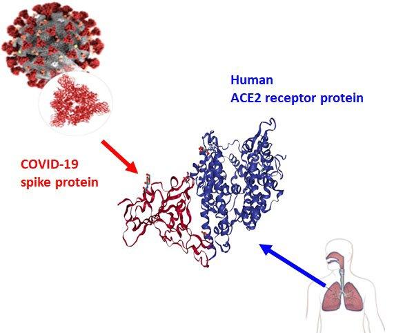 코로나19 바이러스 표면의 스파이크 돌기 RBD 단백질(빨간색)과 인간 세포 표면 hACE2 수용체 단백질(파란색)의 결합 도식도/사진=DGIST