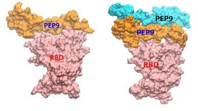 인공단백질의 중화작용 도식도치료제 후보 PEP9 인공단백질의 단량체(monomer) 혹은 이량체(dimer)가  코로나19 바이러스의 돌기 부분에 존재하는 RBD 단백질(빨간색)에 결합해 인간 세포 표면에 있는 hACE2에 결합하지 못하도록 중화 작용하는 도식도. /자료=DGIST
