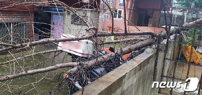 2일 오후 3시 22분쯤 인천시 남동구 간석동의 한 다세대 주택에 가로수가 넘어져 있다. (인천소방본부제공) 2020.8.2/뉴스1© 뉴스1