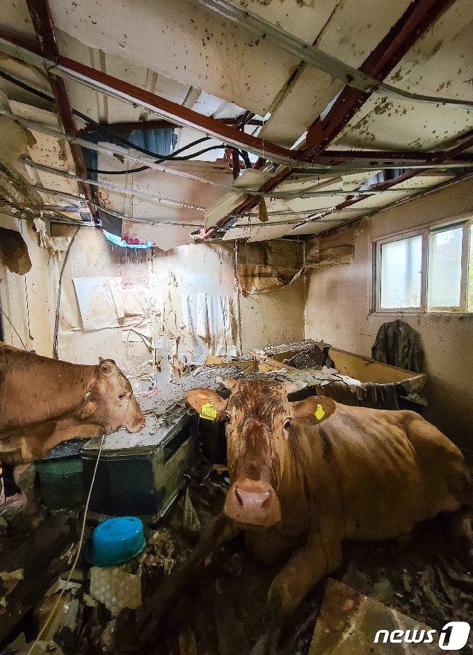 [사진] 지붕 붕괴로 떨어져 구조 기다리는 소들